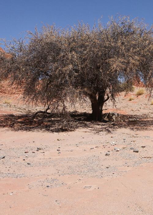 Arbustes d'Argentine