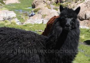 Lama à robe noire
