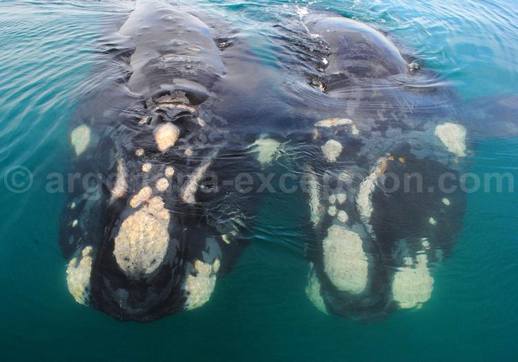 Baleines franches australes, Valdés