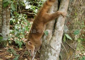 Rencontre avec les coatis d'Iguaçu