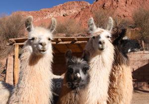 Rôle social et religieux du lama