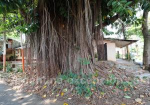 Les arbres de Puerto Iguazu