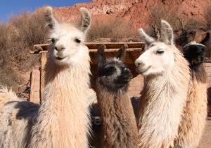 Le lama porte une vingtaine de kilos