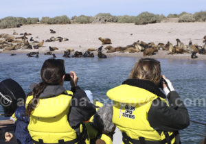 Observation de lions marins