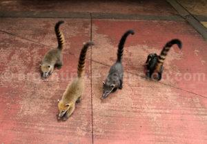 Groupe de coatis sud-américain