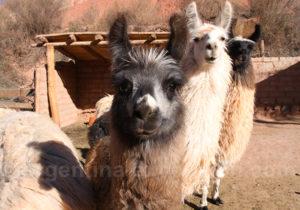 Le lama apprécié pour sa fourrure et sa viande