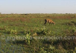 Cerf des marais dans les Esteros del Ibera