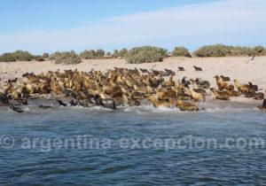 Colonie de lions marins Bahia Bustamante