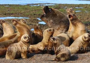 Lions marins Otaria flavescens