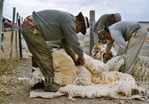 Tonte des moutons estancia Bahia Bustamante