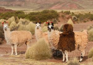 Voyage au pays des lamas