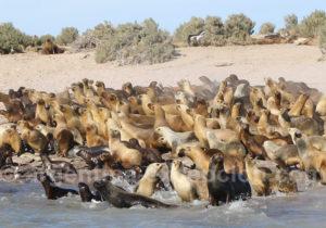 Lions marins parc marin de Patagonie Australe