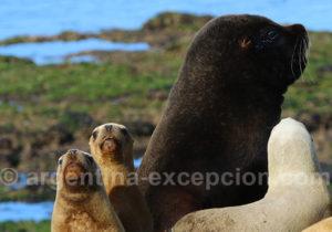 Otaries de Patagonie