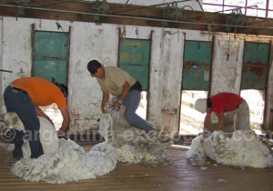 Tonte de la laine Bahia Bustamante