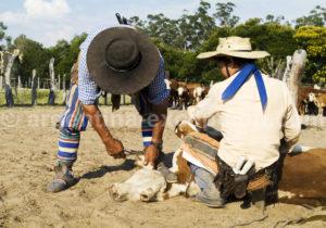 Marquage au fer d'un veau, Corrientes