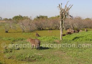 Carpinchos près de la lagune Ibera