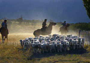 Labeur gaucho en Patagonie