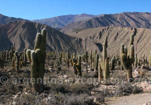 Paysage de cactus, Tilcara