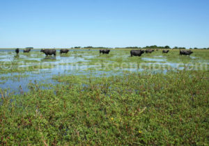 Buffles de la province de corrientes en argentine