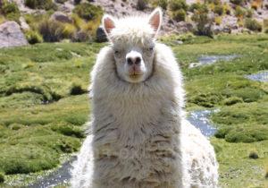 Lama à robe blanche