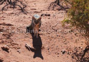 Petit renard perdu à Ischigualasto