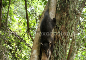 Coati du parc Iguaçu, Misiones