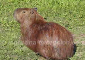 Capybaras, Esteros del Ibera