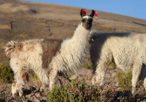 Lama Argentine