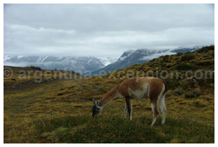 guanaco patagonie