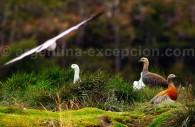 Ouette à tête grise Ushuaia