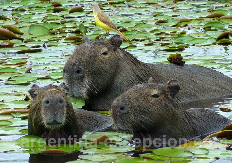 capybara ou carpincho, esteros del ibera