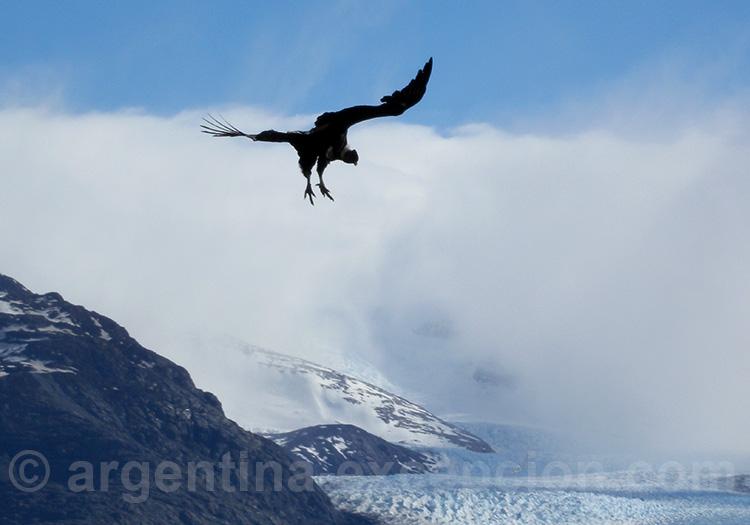 Condor dans le ciel de l'Upsala