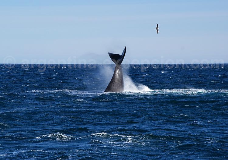 Baleine franche australe, péninsule Valdès