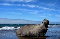 Eléphant de mer