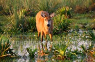 Cerf des marais - Marais d'Ibera - Corrientes