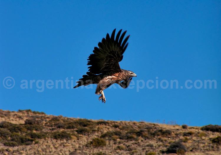 Buse aguia, parc Lanín