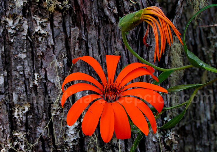 Flore du Parc Lanín