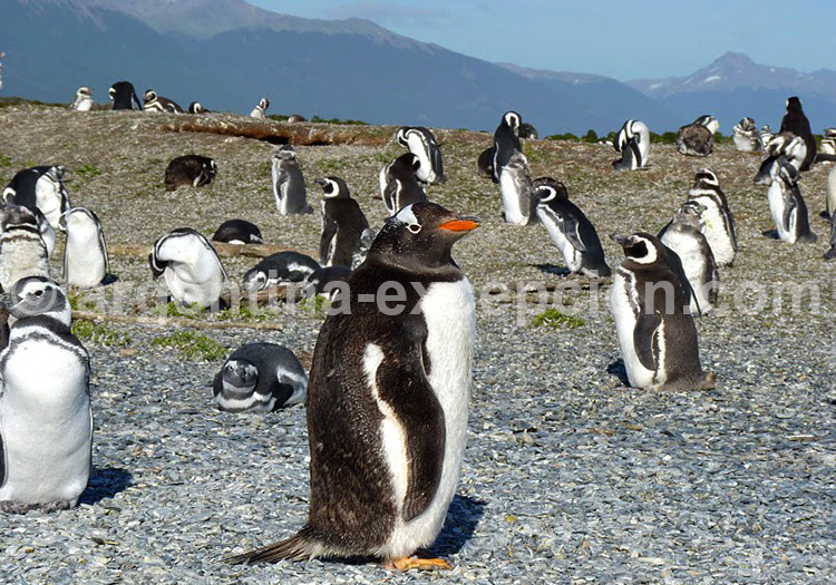 Isla Martillo, Ushuaia