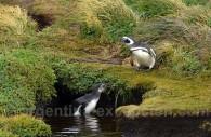 pingouns terre de feu