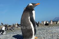 Pinguino - Ushuaia