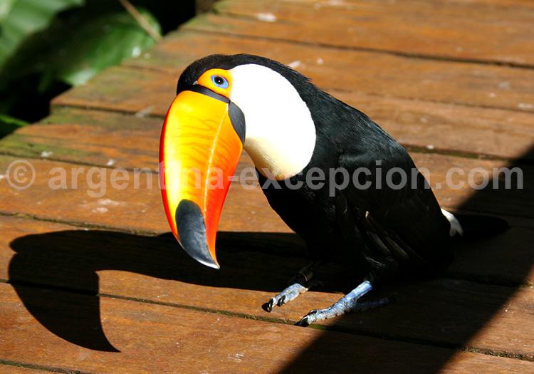 Un toucan curieux, Iguazú