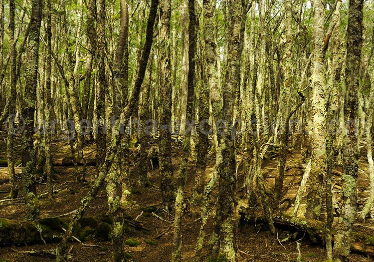 Forêt magellanique de Terre de Feu
