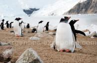 Pinguinos - CC Facundo Santana