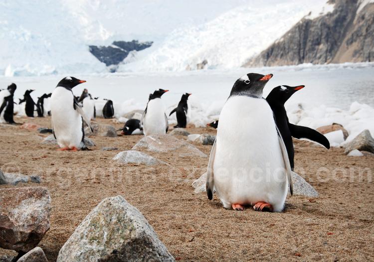 Manchots en Antarctique - Crédit Facundo Santana