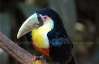 Un Toucan croisé dans le parc aux oiseaux d'Iguazú