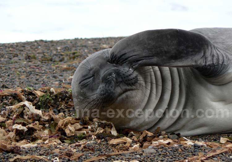 Un lion de mer rencontré à la Péninsule de Valdés
