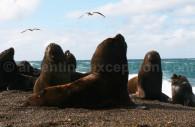 Lions de mer, Bahia Bustamante