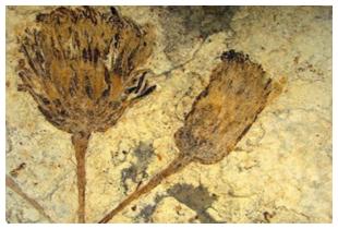 fossile marguerite