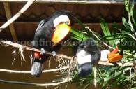 Toucan au Parc des Oiseaux
