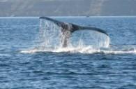 Une baleine près de la péninsule Valdés